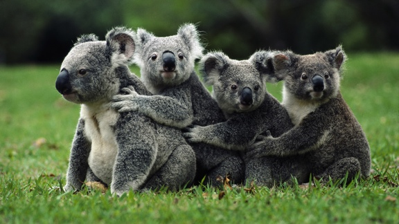 Koala Genome - Ramaciotti Centre for Genomics